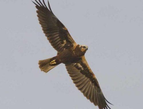 L'arpella comuna torna a criar al Parc Natural del Delta de l'Ebre després de 40 anys