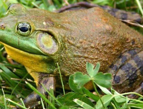 ATENCIÓ: La granota toro, a un pas de l'erradicació