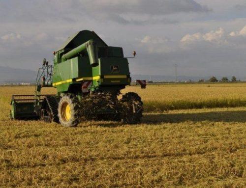 La collita de l'arròs es tanca amb 149.750 tones d'una qualitat 'excel·lent'