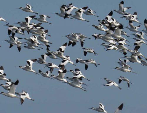 Es manté la tendència a la baixa de la població hivernal d'ocells aquàtics al Parc Natural del Delta de l'Ebre